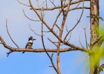 A Belted Kingfisher perched in a tree at Everglades National Park, Florida, November 2017