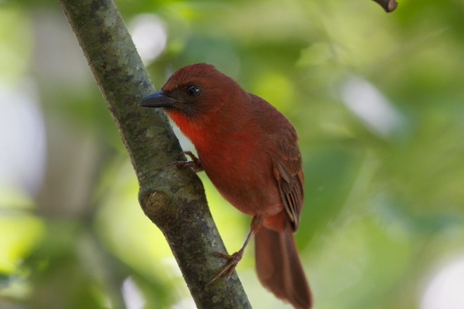 Red-throated Ant-Tanager. Photo by John Norton, Creative Commons