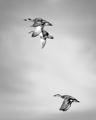 A female and male Mallard Duck flies over Sherry Lake with