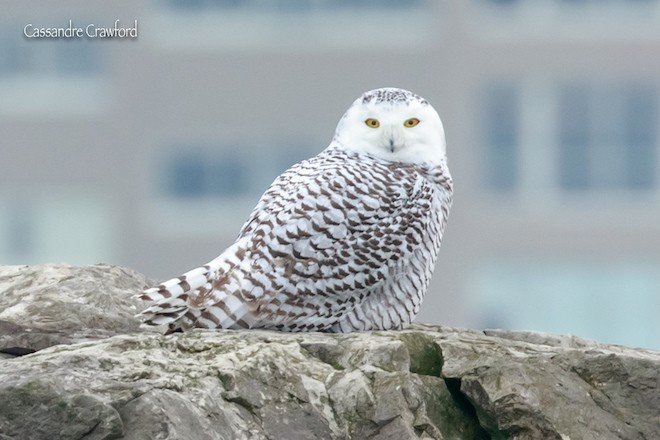 A Snowy Owl in Cleveland, Ohio, on December . Photo by Cassandre Crawford (Creative Commons)