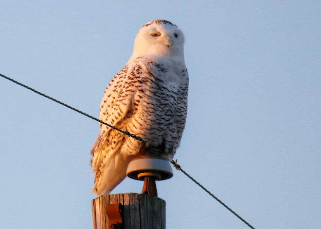 A Snowy Owl in central Indiana on December 1, 2017. Photo by Mark Moschell (Creative Commons)