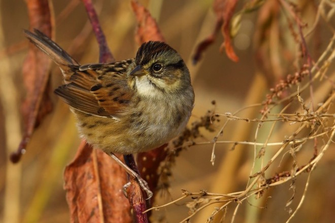 Maps show where to find Swamp Sparrow in winter