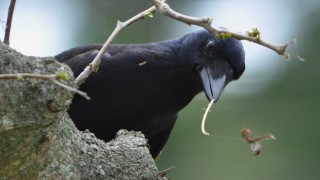 how crows manufacture hooked tools