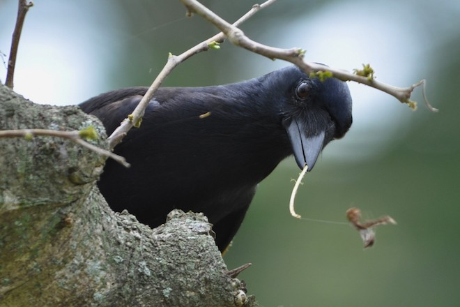 A New Caldonian Crow holds a hooked stem to use for foraging. Photo by James St Clair