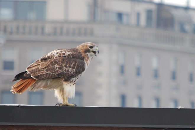 red-tailed hawk NYC-660