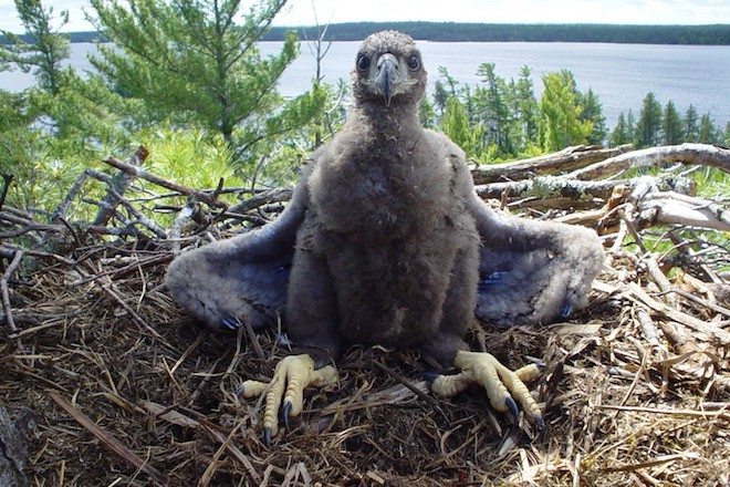 A young Bald Eagle sits in its nest in in Voyageurs National Park. Photo by Teryl Grub