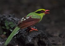 Common-Green-Magpie_2_CMG3201-copy_1200