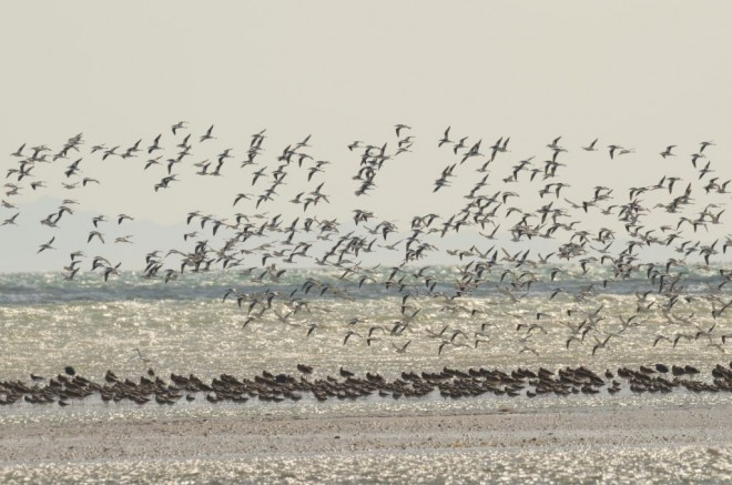 Crab Plovers and Eurasian Whimbrel flock to Bar Al Hikmann, a critically important coastal wetland in Oman. These intertidal flats and associated salt flats in Oman are recognized as one of most critically important wetlands for waterbirds in the West Asia/East African Flyway. Photo by Taej Mundkur