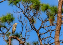 A Great Blue Heron perched in a tree at Everglades National Park, Florida, November 2017