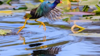 A male Purple Gallinule leaping from one lily pad to another in the swamp at Everglades National Park, Florida November 2017