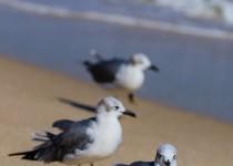 Seagulls flock at popular beached for food at Fort Lauderdale, Florida, November 2017
