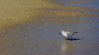 A Sanderling combing the beach for food at Fort Lauderdale, Florida, November 2017