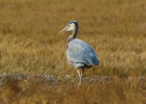 Great-Blue-Heron-Duxbury-Beach-1-20-18