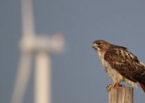 Red-tailed-Hawk-NRS-Marshfield-1-19-18-17