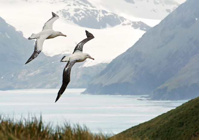 How albatrosses fly, find food, and nest - BirdWatching