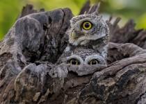 Spotted-Owlets_1_CMG4480_DxO-copy1200