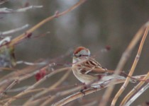 americantreesparrow11