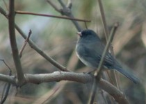 darkeyedjunco1