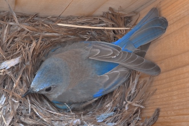 A female Western Bluebird guards her clutch of eggs in a nesting box in a natural gas field. Unable to discern whether their environment is safe due to compressor noise, mother birds must choose between staying on guard and finding food for their young. Photo by Nathan Kleist