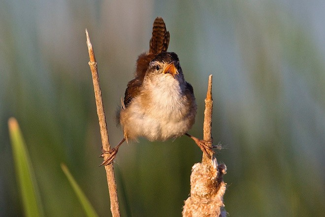 A singing Marsh Wren. Photo by Kim Caruso