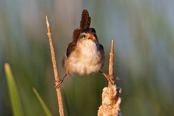 A singing Marsh Wren. Photo by Kim Caruso