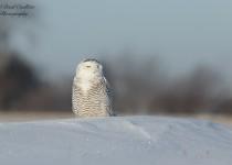 Snowy Owl irruption