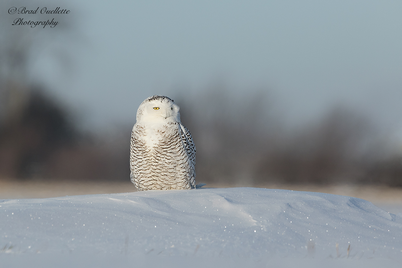 Scenes from the 2017-2018 Snowy Owl irruption