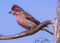 Cassins-Finch