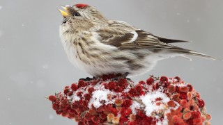 Great Backyard Bird Count