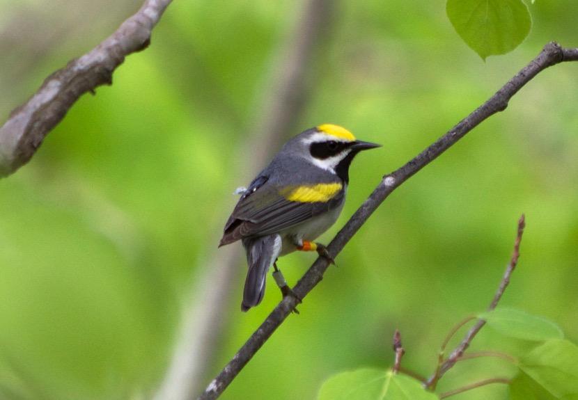 Study: Population trends of Golden-winged Warbler tied to wintering regions