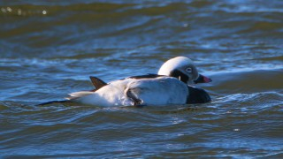 Long-tailed-Duck-Brant-Rock-2-5-18
