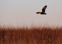 A short-eared owl flying over the grass in search for its evening meal at the Tallgrass Prairie Preserve in Pawhuska, Oklahoma