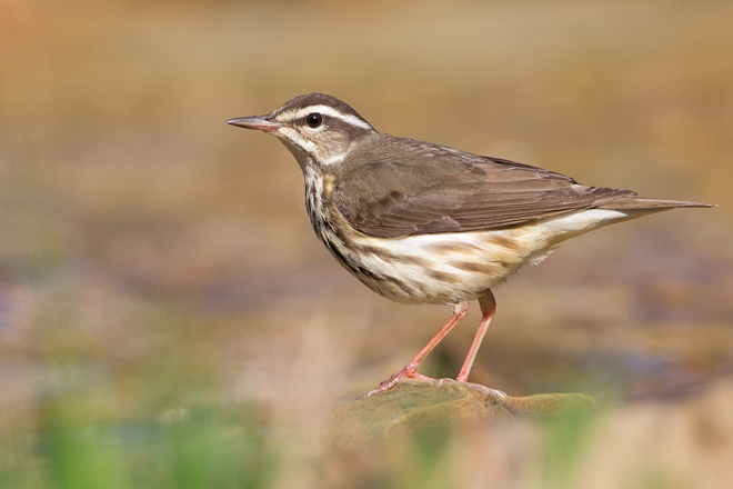 A Louisiana Waterthrush walks along a stream in Shawnee State Park in southern Ohio. Photo by Joshua Clark