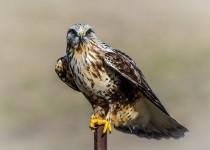 rough-legged-hawk2