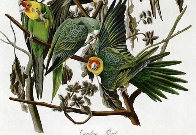 The tragic story of the extinct Carolina Parakeet