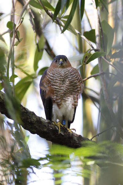 A female Puerto Rican Sharp-shinned Hawk. Photo by Russell Thorstrom/The Peregrine Fund
