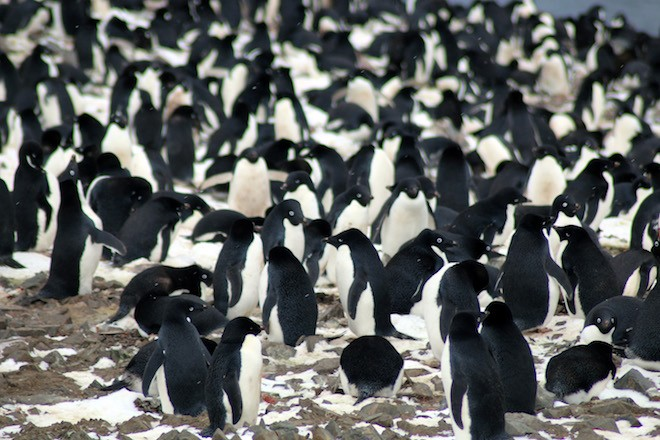 Nesting Adélie Penguins in the Danger Islands, Antarctica. Photo by Michael Polito, © Louisiana State University