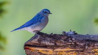 Hybrid bluebirds