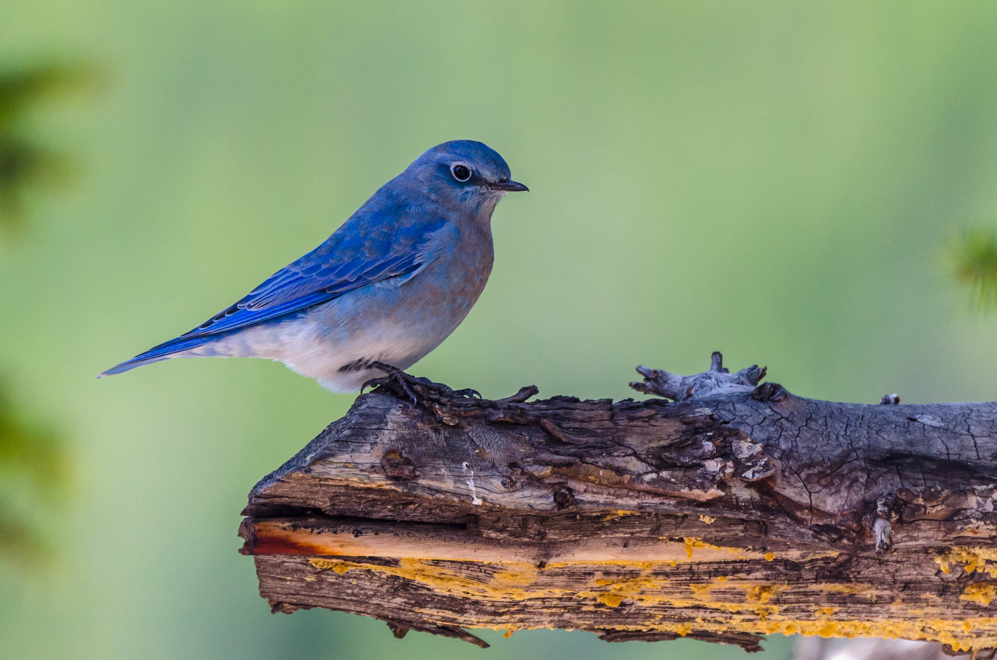 Hybrid bluebirds and why they may become more common