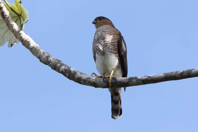 Puerto Rican Sharp-shinned Hawk