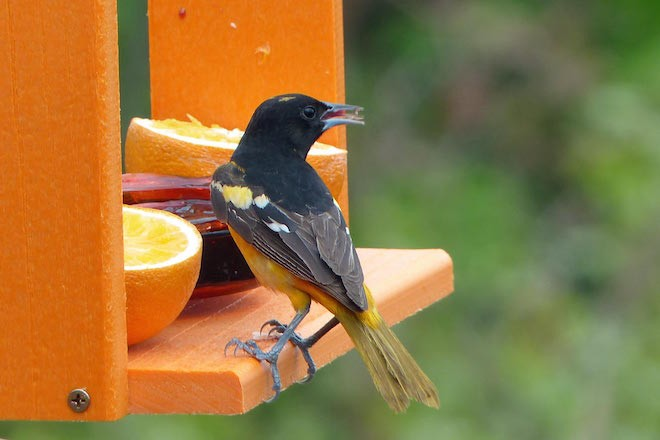 A Baltimore Oriole eats jelly Photo by