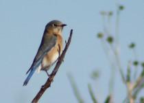 femaleblubird21
