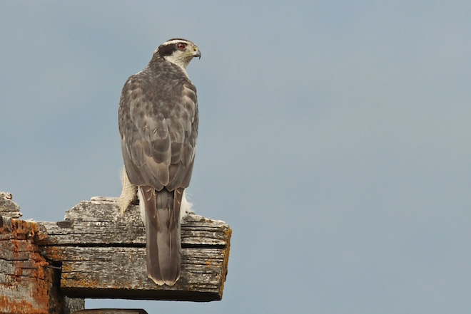 Maps show where to look for Northern Goshawk