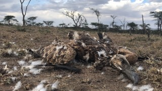 vulture poisonings