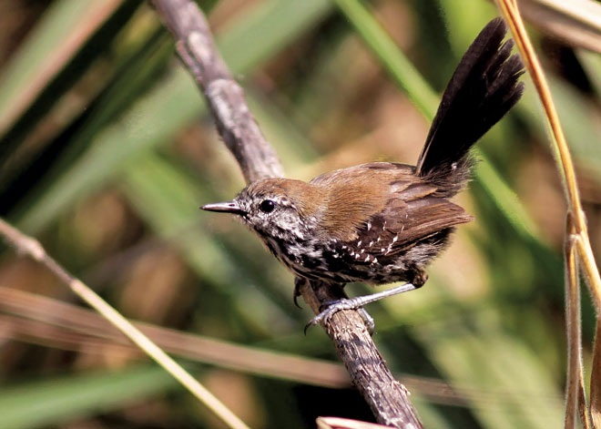Saving the critically endangered São Paulo Marsh Antwren