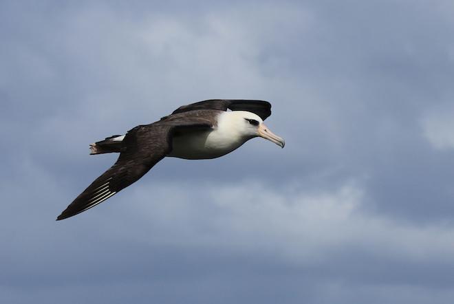 Milestone for Laysan Albatross program in Hawaii