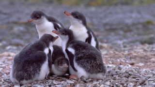 Antarctica's penguins