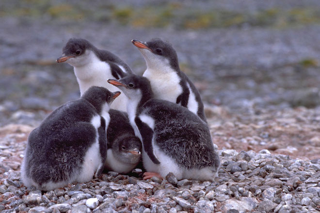 Report highlights future challenges for Antarctica's penguins