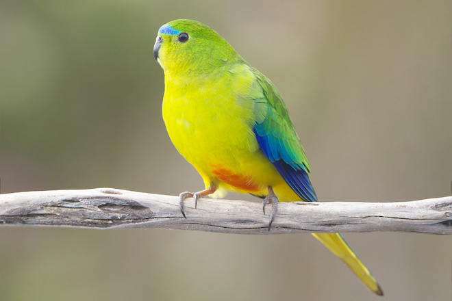 Racing to save the Orange-bellied Parrot