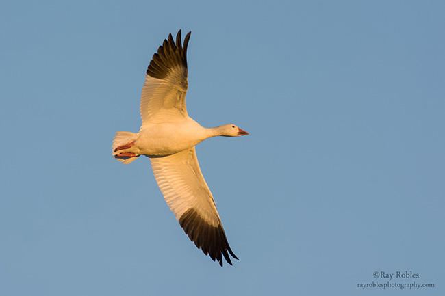 Maps track Snow Goose movements